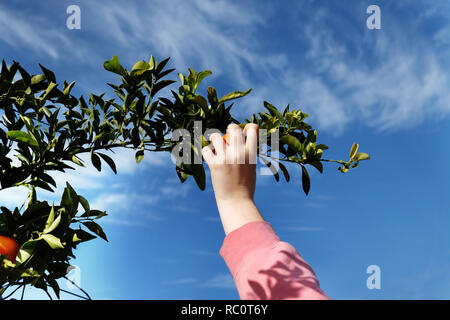 picking harvesting mandarins , clementines  from a tree - Stock Photo