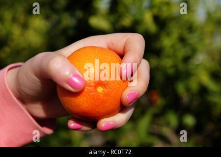 Fresh mandarins , clementines at the farm - Stock Photo