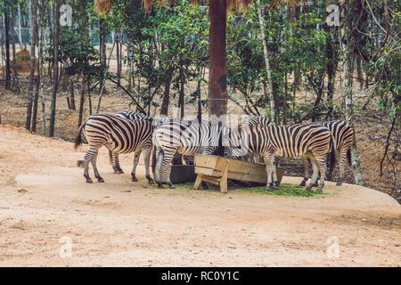 Zebras eat green grass in safari park. - Stock Photo