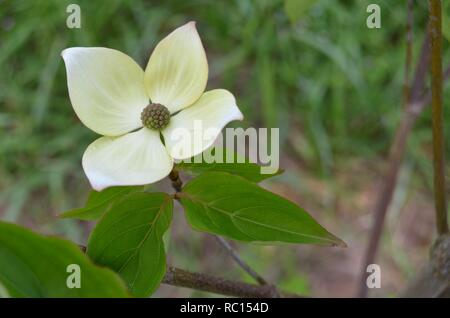 White Dogwood blossoms up close on a sun-shiny day. - Stock Photo