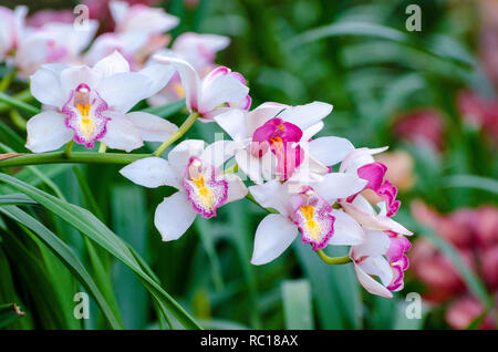 cymbidium sp Pink and white orchid flowers - Stock Photo
