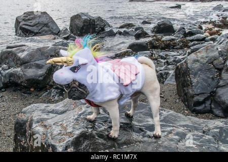Pug dog dressed in a Unicorn outfit on rocks at Mousehole, Cornwall for national dress your dog day. - Stock Photo