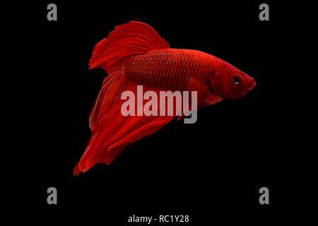 Betta fish fighter - Stock Photo