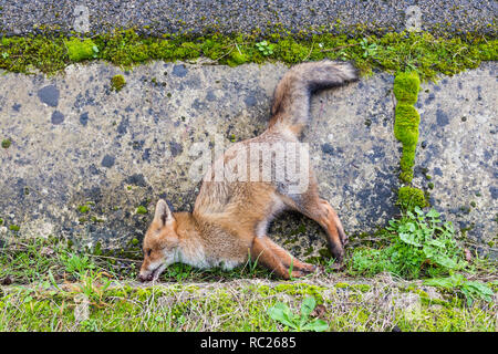 Dead fox lying along the road after a car accidant in Sardinia, Italy - Stock Photo