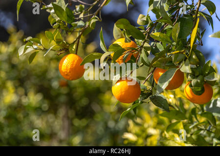 Branch of a tree with ripe tangerines close-up on a blurred background - Stock Photo