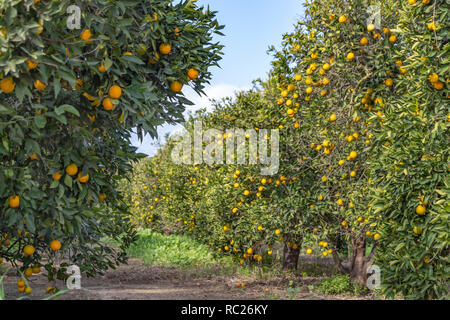 Gruit garden with rows of trees with ripe oranges in a fruit garden - Stock Photo