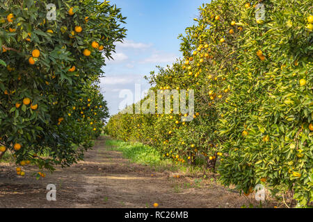 Rows of trees with ripe oranges in a fruit garden against blue sky with clouds - Stock Photo