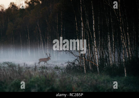 Beautiful red deer stag goes to foggy misty forest in autumn in Belarus. - Stock Photo