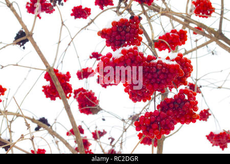 hanging viburnum bunches - Stock Photo
