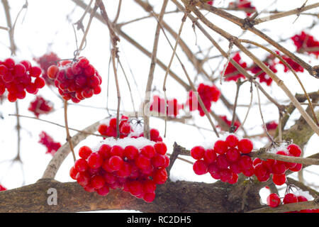 hanging winter viburnum bunches - Stock Photo