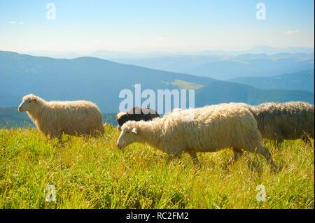 Herd of sheeps grazing on top of mountains. Carpathian mountains, Ukraine - Stock Photo