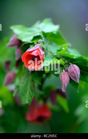 Abutilon x hybridum Red Emperor,abutilons,chinese lantern tree,flowering shrub,shrubs,orange red flowers,RM Floral - Stock Photo