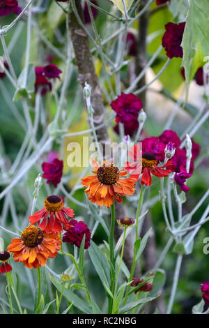 Helenium Moerheim Beauty,Lychnis coronaria Gardeners' World,rose campion,Sneezeweed,orange red purple flowers,combination,flower, flowering,perennial, - Stock Photo