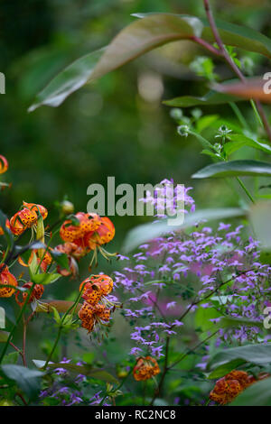 lilium pardalinum,leopard lily,panther lily,red,orange,spot,spotted,thalictrum delavayi hinckley,meadow rue,lilac flowers,contrast,contrasting combi - Stock Photo