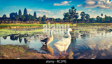 Angkor Wat temple reflecting in water of  Lotus pond at sunset. Ducks on the foreground.Siem Reap. Cambodia. Panorama - Stock Photo