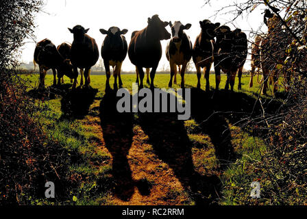 Cattle obstruction on a public footpath. - Stock Photo