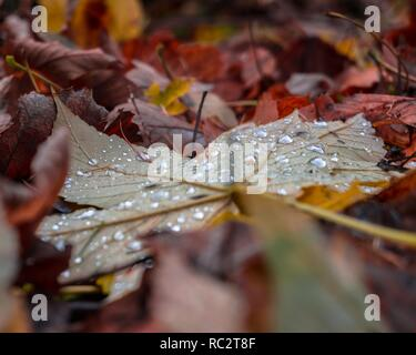 Maple leave in autumn colors - Stock Photo