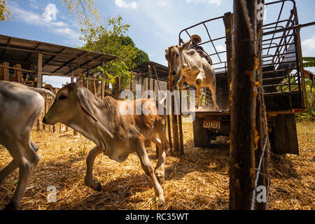 Livestock jumping from a truck in Penonome, Cocle province, Republic of Panama. - Stock Photo