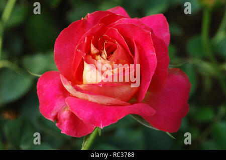 Red Rose on the Branch in the Garden ** note select focus with shallow depth of field:ideal - Stock Photo