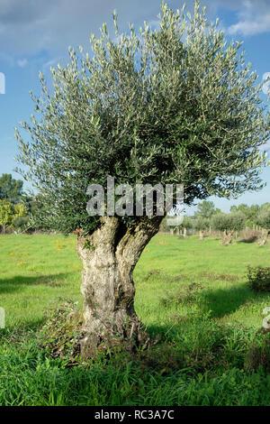 Old Olive tree, Olea europaea. Portugal - Stock Photo