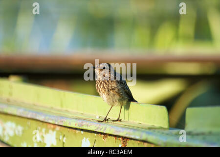 Bird lark close-up in the evening lighting. Hot summer evening in the countryside. - Stock Photo