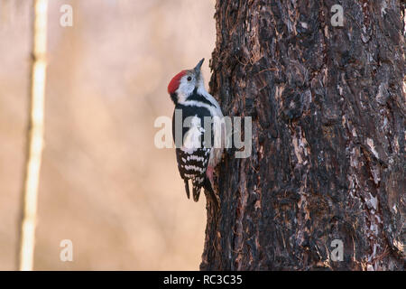 Middle spotted woodpecker (Dendrocoptes medius) hangs with claws on a larch trunk in late autumn. - Stock Photo