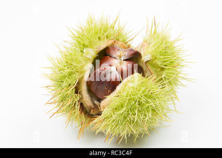 An opened sweet chestnut, Castanea sativa, spiky capsule and three chestnuts inside that was found below a chestnut tree growing in woodland On a whit - Stock Photo