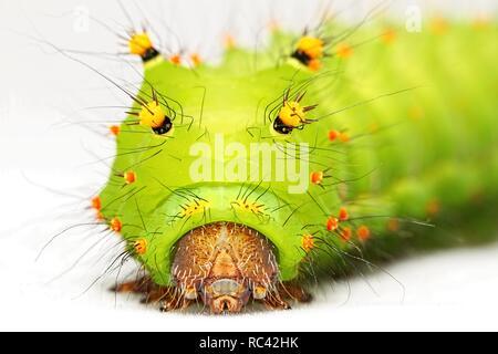 Actias selene larva - Stock Photo