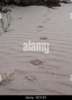 Tracks in the sand, Lion Hollow campsite, Desolation Canyon north of Green River, Utah. - Stock Photo