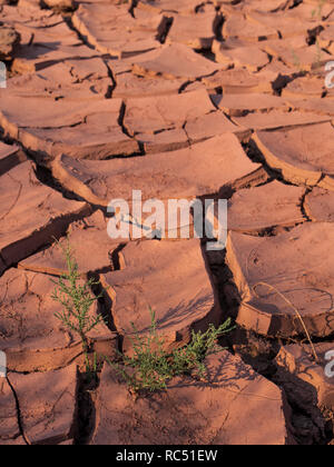 Plant growing in the dried mud beside Range Creek, Gray Canyon north of Green River, Utah. - Stock Photo