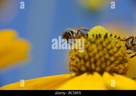 working western honey bee on a flower with a blue sky background on a sunny day - Stock Photo