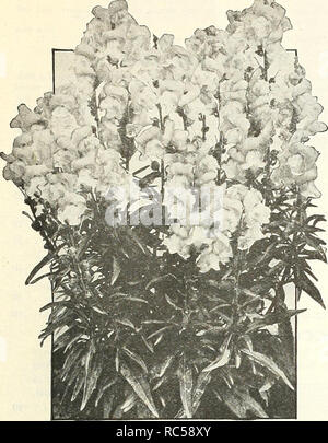 . Dreer's mid-summer list 1922. Flowers Seeds Catalogs; Vegetables Seeds Catalogs; Nurseries (Horticulture) Catalogs; Gardening Equipment and supplies Catalogs. HENRY A. DREER, PHILADELPHIA—FLOWER SEEDS. Antirrhinum The Fawn ANTIRRHINUM (snapdragon) Within the last few years Snapdragons have become immensely popular. This is not to be wondered at, as, whether used for cutting or for show in the garden, they are one of the most valuable flowers which can readily be grown from seed. We offer two distinct types, the large-flowering, tall-growing, or giant, and the equally large-flowered, half-dwa - Stock Photo
