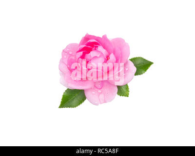 Bright pink rose flower with water drops isolated on white. - Stock Photo
