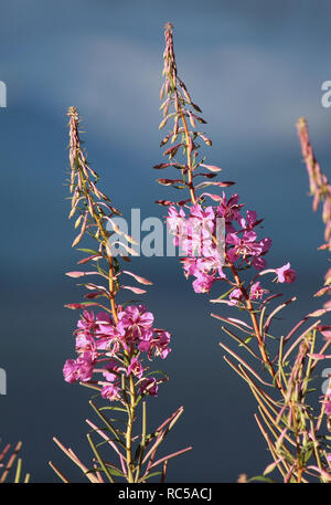 Chamaenerion angustifolium, commonly known in North America as Fireweed or Great Willowherb, and in Britain Rosebay Willowherb. Lit by the evening sun - Stock Photo