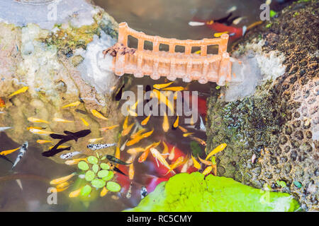 View of chinese garden pond with multicoloured carp koi fishes - Stock Photo