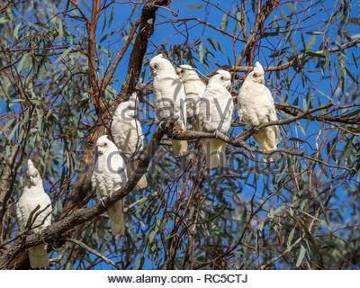Corellas in trees at Loxton, SA - Stock Photo