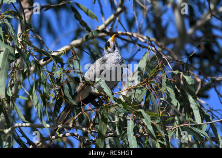 An Australian, Queensland Noisy Miner ( Manorina melanocephala ) perched in thick bush looking for food - Stock Photo