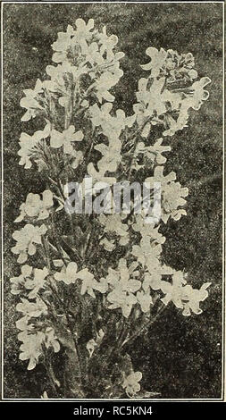 . Dreer's mid-summer catalogue 1916. Flowers Seeds Catalogs; Fruit Seeds Catalogs; Vegetables Seeds Catalogs; Nurseries (Horticulture) Catalogs; Gardening Equipment and supplies Catalogs. Achillea Ptarmica Fl. Pl, Boule de Neige AC^^NA (New Zealand Burr). Mircophylla, Pretty evergreen rock plants of cushion-like growth cultiva- ted for their showy, crimson spines, which are borne on the calyx; foliage dark bronze. 25 cts. each; $2.50 per doz. ACAISTHUS (Bear's Breech). Mollis Latifolius. A handsome decorative plant of stately effect, with deeply-toothed, heart-shaped leaves, 2 feet long by 1 f - Stock Photo