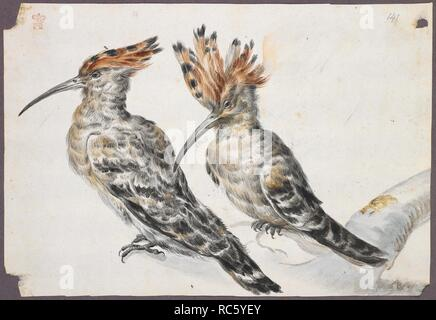 Two birds. Drawings of birds. First half of the 18th century. Source: Add. 5263, f.141. Author: EDWARDS, GEORGE. - Stock Photo