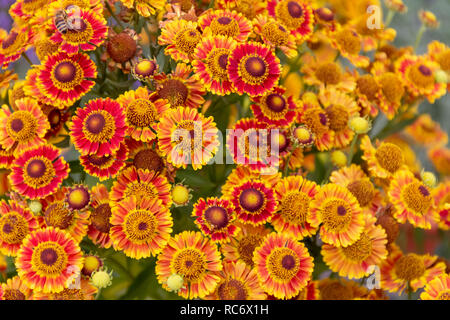 closeup shot showing lots of colorful aster flowers - Stock Photo
