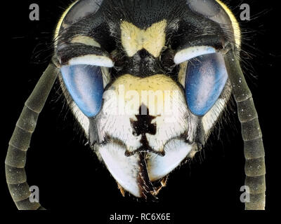 Extreme macro shot (micrograph) of a wasp (Vespula sp.) with fluorescent eyes, in visible and ultraviolet light
