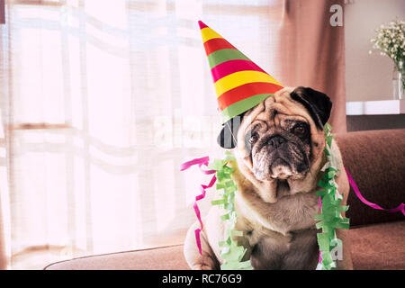 Carnival celebration or birthday anniversary for special funny old dog pug with party hat and sad serious funny expression - indoor event activity for - Stock Photo