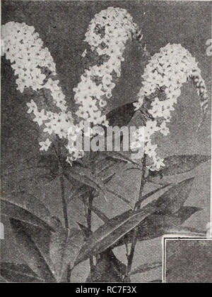 . Dreer's garden book / Henry A. Dreer.. Nursery Catalogue. HARDY PERENNIAL PIANTS pHHMPHRl| 169. Lysimachia Clethroides Lychnis (Campion, Lamp Flower, etc.) Of the easiest culture, thriving in any soil, and this, in addition to their brightness has brought them into high favor with lovers of hardy plants. Chalcedonica (Jerusalem Cross). A most desirable plant, heads of brilliant orange-scarlet in June and July; grows 2 to 3 feet high. — Alba. A white-flowered form of above. Haageana. Brilliant orange- scarlet flowers in May and June; 12 inches. Viscaria Splendens. Forms a dense tuft of evergr - Stock Photo
