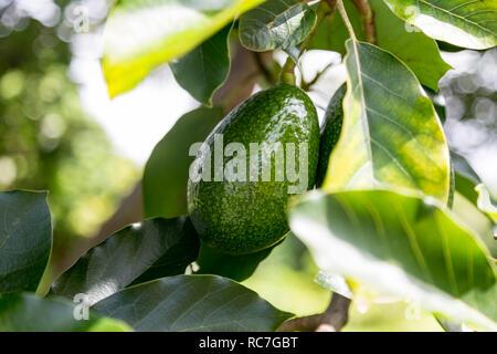 Fresh Avocado on a Tree on the Big Island of Hawaii - Stock Photo