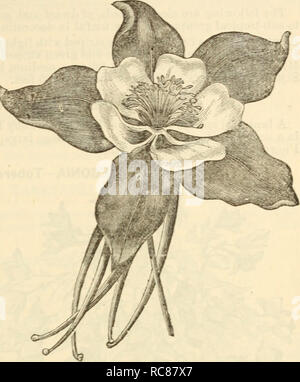 . Dreer's garden calendar : 1880. Seeds Catalogs; Nursery stock Catalogs; Gardening Catalogs; Flowers Seeds Catalogs. Drccr 's Garden Calendar. 85 -Rocky Mountain Columbine. AIV1PEL0PSIS VEITCHI—Miniature Virginia Creeper. An introduction from Japan which has proven entirely hardy. It grows as rapidly as the old Virginia creeper, and attains a height of 50 feet. It clings firmly to any wall, tree, etc. The leaves are small on young plants, which at first are of an olive green brown color, changing to bright scarlet in theautumn. As the plant acquires age the leaves increase in size. This varie - Stock Photo