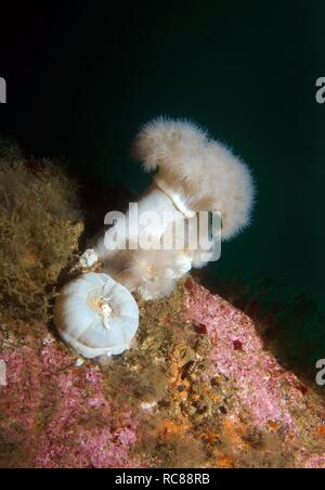 Giant plumose anemone or White-plumed anemone (Metridium giganteum), Barents Sea, Russia, Arctic - Stock Photo