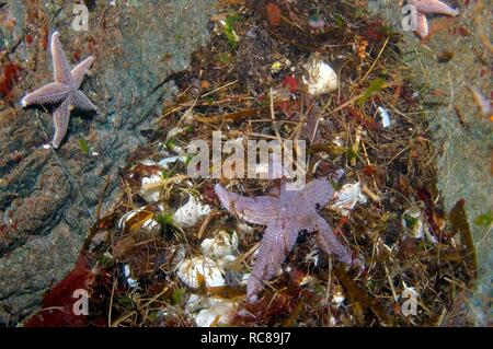 Common Starfish (Asterias rubens) and eggs of Common murres or Common guillemots (Uria aalge), Barents Sea, Russia, Arctic - Stock Photo