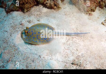 Blue spotted stingray (Taeniura lymma), Red Sea, Egypt, Africa - Stock Photo