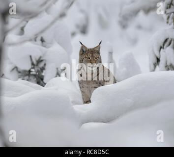 Eurasian lynx (Lynx lynx), male, sits in a snowy forest, captive, Bavarian Forest, Bavaria, Germany - Stock Photo