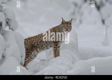 Eurasian lynx (Lynx lynx), male standing in snowy forest, captive, Bavarian Forest, Bavaria, Germany - Stock Photo